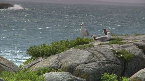 Two Seagulls And Two Chicks. Steady, medium wide shot of two seagulls and two hatchlings on a rock next to the sea stock video