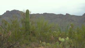 Cacti in Desert and Mountainous Terrain. Steady, medium wide shot of various cacti in desert and mountainous terrain stock video footage