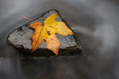 A steady rock helps a single fall leaf stand against the backwash. Stronger together or nothing is impossible concept. A steady rock helps a single fall leaf stock photography