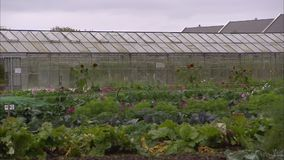 Big greenhouse in Ireland. A steady shot of a big greenhouse with agricultural plants inside stock footage