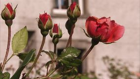 Blooming red roses. A steady shot of red roses being blown by the wind. The roses are placed on a backyard stock video footage