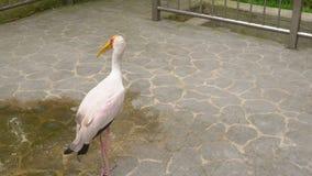 Steadycam射击了一只黄色开帐单的鹳在一个热带鸟公园 影视素材