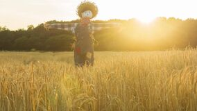 Steadycam dolly view of a scarecrow in a wheat field at sunset