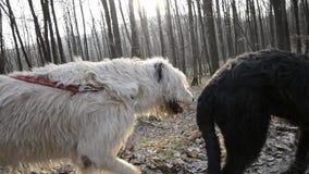 Steadycam medio schot van twee Ierse Wolfshondhonden die in hout bij zonsondergang lopen Hond op leibandgangen op bosweg stock footage