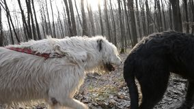 Steadycam mid shot of two Irish Wolfhound dogs walking in woods at sunset. Dog on leash walks on forest road stock footage