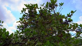 Steadycam shot of coffe tree with coffe fruits on it in a tropical garden