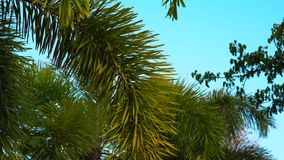 Steadycam shot of palms in a tropical park.  stock footage