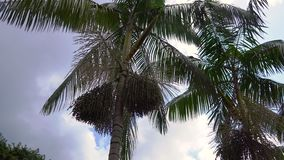 Steadycam shot of tropical palms with palm fruits on it in a tropical garden