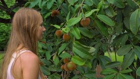 Steadycam sköt av mabolo- eller sammetäppleträdet med massor av frukt på det Kvinnasmels mabolofrukten i ett tropiskt arkivfilmer
