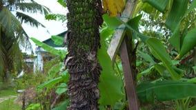 Steadycam a tiré d'une vieille fleur de banane avec un bon nombre de petites bananes à l'intérieur de lui clips vidéos