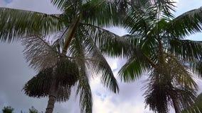 Steadycam a tiré des paumes tropicales avec des fruits de paume là-dessus dans un jardin tropical banque de vidéos