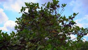 Steadycam tiró de árbol del coffe con las frutas del coffe en él en un jardín tropical almacen de video