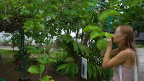 Steadycam tiró de una fruta de la pasión en una planta del maracuya en un jardín tropical almacen de video