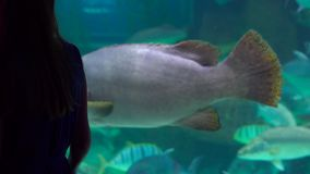 Steadycm shot. Silhouette of a woman watching incide of a huge aquarium full of exotic fish in an oceanarium.  stock footage