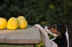 Stealing τρόφιμα σκυλιών στοκ εικόνα