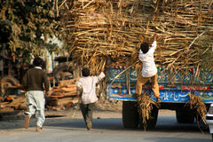 Stealing sugar cane Royalty Free Stock Photography