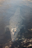 Stealthy American Crocodile in Caribbean Lagoon. A stealthy American crocodile rises to the surface of a lagoon in Turneffe Atoll off the coast of Belize. This Stock Photos