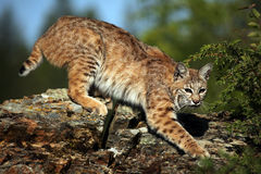 Stealthy Bobcat. Closeup of a Bobcat against a blurred background Stock Photography