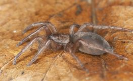 Stealthy ground spider (Gnaphosidae) Royalty Free Stock Images