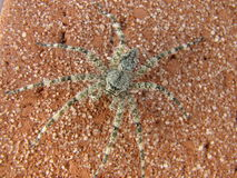 Stealthy Spider Royalty Free Stock Photography