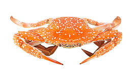 Steam Blue Swimming Crab Royalty Free Stock Photos