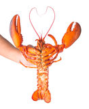 Steam Canadian lobster isolated on white Royalty Free Stock Photo