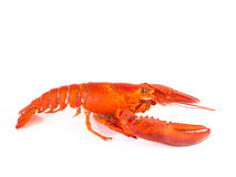 Steam Canadian lobster  on white Royalty Free Stock Photo