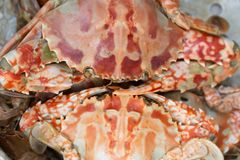 Steam crab Stock Photography
