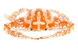 Steamed blue crab or Flower crab Royalty Free Stock Photo