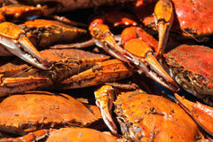 Steamed blue crabs from the Chesapeake bay Royalty Free Stock Image