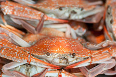 Steamed blue swimming crabs Royalty Free Stock Image
