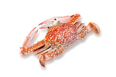 Steamed horse crab isolated on white Royalty Free Stock Images