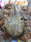 Steamed Horseshoe Crab Stock Photos