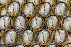 Steamed and salted Rastrelliger brachysoma (Short mackerel) Royalty Free Stock Images