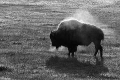 Steaming bison. One very cold and early morning, a steaming bison shot backlit at yellowstone national park. converted to black and white Stock Image