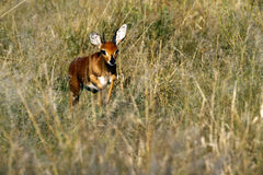Steaming Steenbok Stock Image