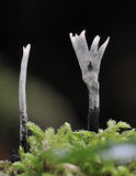 Stearinljus Snuff Fungi Royaltyfri Bild