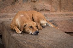 Steay dog sleeping on a wall Royalty Free Stock Photo