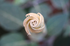 Stechapfel-Blume lizenzfreies stockfoto