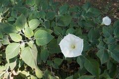Stechapfel innoxia in der Blüte im Sommer lizenzfreie stockbilder