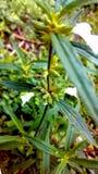 Stechapfel stromonium Lizenzfreies Stockbild