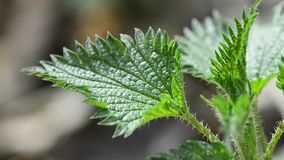 Stechende Nessel, Lebensmittel und Heilpflanze stock footage