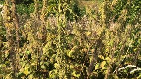 Stechende Nessel, Lebensmittel und Heilpflanze, reife Samen stock footage