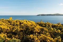Stechginster auf einer Klippe Douglas Isle des Mannes lizenzfreie stockfotos