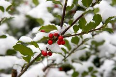 Stechpalme Bush mit Schnee Stockfoto