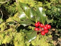 Stechpalme, gemeine Stechpalme, englische Stechpalme, Stechpalme- oder gelegentlich Weihnachtsstechpalme Ilex aquifolium, sterben lizenzfreie stockfotos