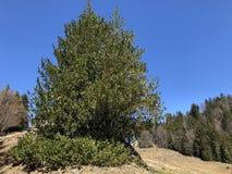 Stechpalme, gemeine Stechpalme, englische Stechpalme, Stechpalme- oder gelegentlich Weihnachtsstechpalme Ilex aquifolium, sterben stockbild