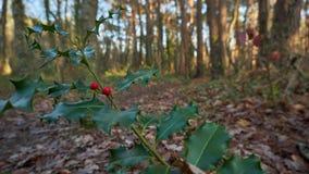 Stechpalme im Herbst lizenzfreie stockfotos