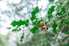 Stechpalme rechtzeitig zu Weihnachten! Lizenzfreies Stockbild