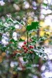Stechpalme wächst in einem Wald in England Lizenzfreie Stockbilder